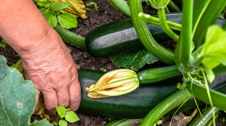Mistakes Everyone Makes When Planting Squash