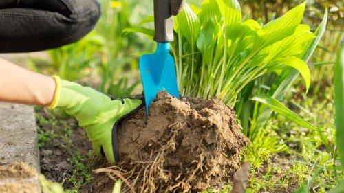 How Important Is It To Divide Hostas In Your Garden?