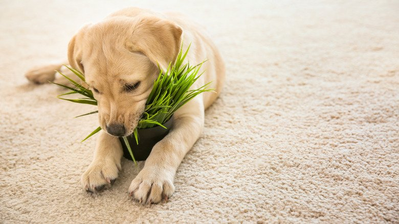The Houseplants You Should Avoid If You Have Dogs