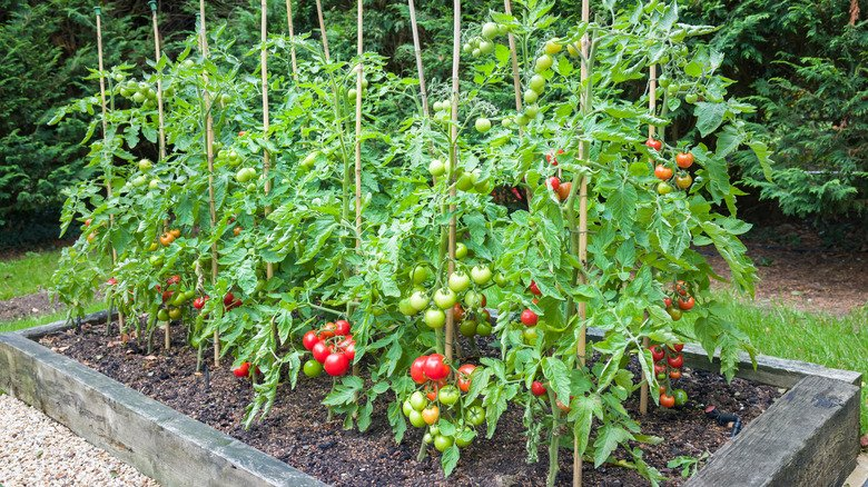 Mistakes Everyone Makes When Planting Tomatoes