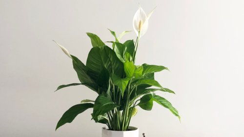 Telltale Signs Your Peace Lilies Are In Trouble