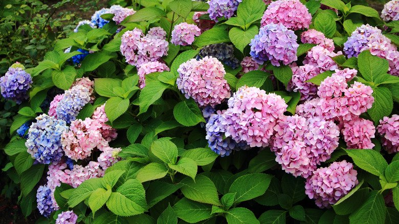 Mistakes Everyone Makes When Planting Hydrangeas