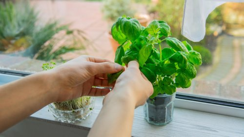 What Herbs Will Grow The Best In Your Kitchen