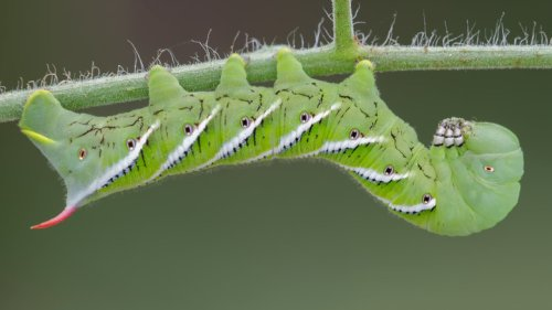 8 Best Ways To Get Rid Of Tomato Worms