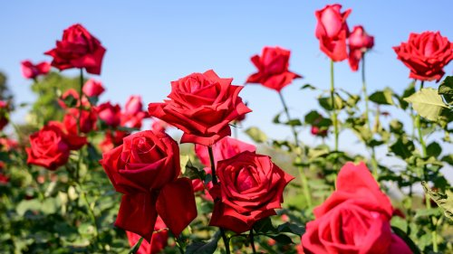 8 Best Ways To Get Rid Of Green Worms On Roses