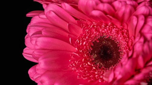 Gerbera Daisies: Everything You Should Know Before Planting