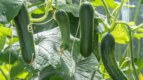Mistakes Everyone Makes When Planting Cucumbers