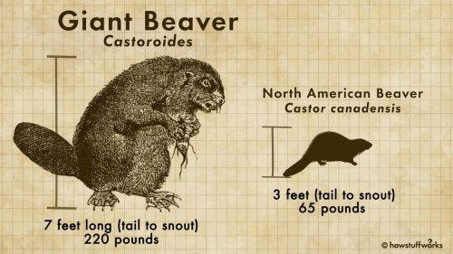 The Now-extinct Castoroides Was a Bear-sized Beaver