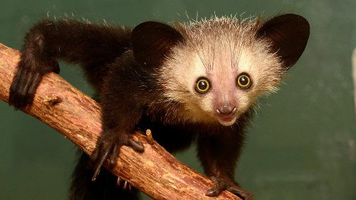 10 Wild Facts About the Aye-Aye, a Most Improbable Animal
