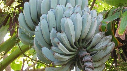 Blue Java: The Banana That Tastes Like Ice Cream