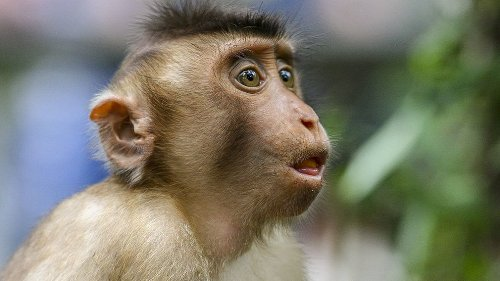 Monkeys Have the Anatomy for 'Human' Speech, But Not the Brains