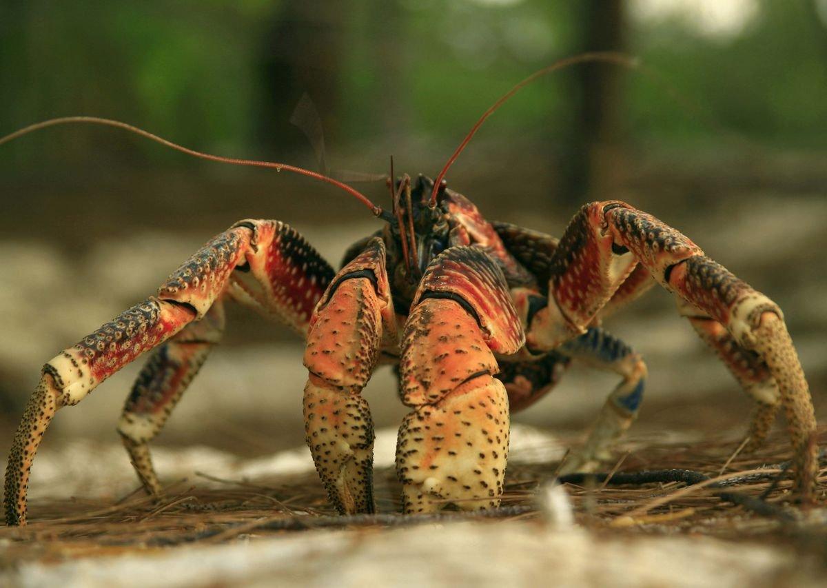 Was Amelia Earhart Eaten by Giant Land Crabs?