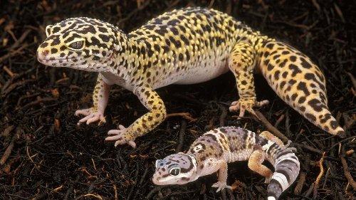 Super Cute Leopard Geckos Make Great Pets