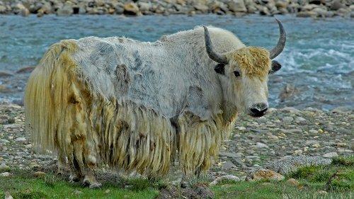 Yakety-yak: 7 Fun Faks About Yaks