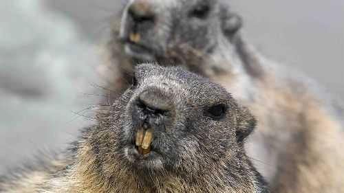 If a Woodchuck Can't Chuck Wood, What Can It 'Chuck'?