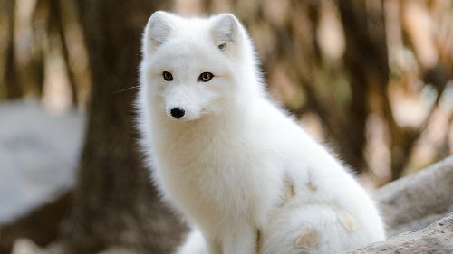 Baby It's Cold Outside! How the Arctic Fox Survives Frigid Temps
