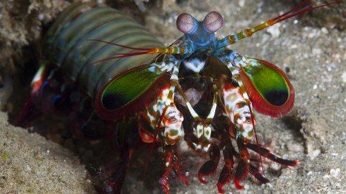 The Amazing Mantis Shrimp Punches Its Prey, Plus More Colorful Facts