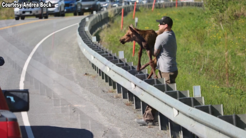 'It was worth the risk': Good Samaritan helps baby moose over guardrail during traffic jam