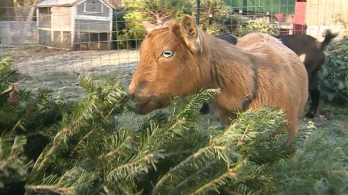 Mass. farm using goats to recycle Christmas trees