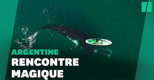 La vidéo spectaculaire d'une baleine jouant avec un paddle