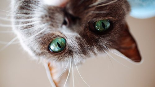 It's Official: You Can Pass On Covid To Your Cat