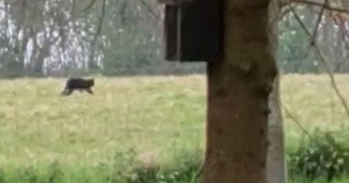 Beast of Exmoor spotted roaming fields in 'clearest footage yet'