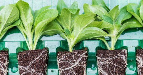 Keen gardeners can use plug plants this spring for a summer bloom