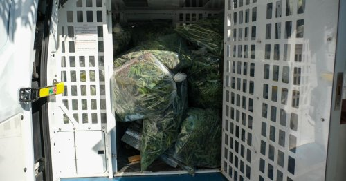 Hundreds of cannabis plants discovered in police bust at Grimsby home