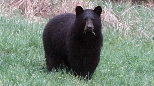 Black bear is 'put down' due to safety concerns after it was seen near homes