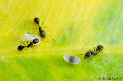 Heiratsvermittlung bei Ameisen