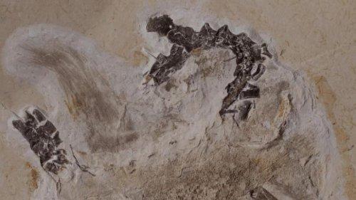 Streit um Dino-Fossil aus Brasilien