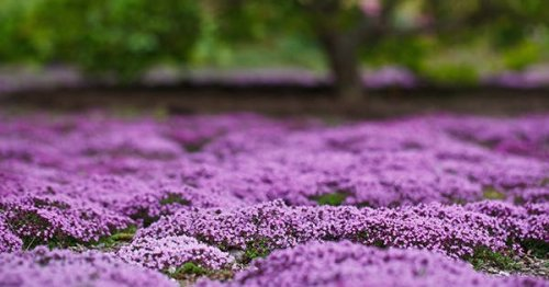 The 15 Best Groundcover Plants for Your Garden
