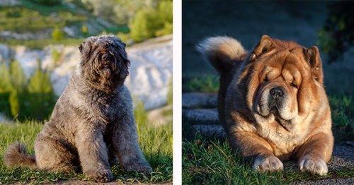 11 Dog Breeds That Look Like Bears