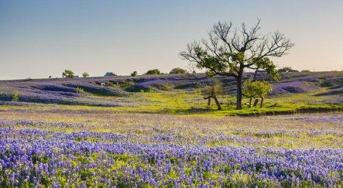 Promising Texas Bluebonnet Season Predicted Despite Winter Storm