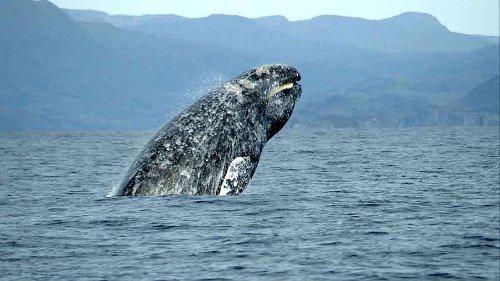 Rarissima balena grigia avvistata per la prima volta in Italia