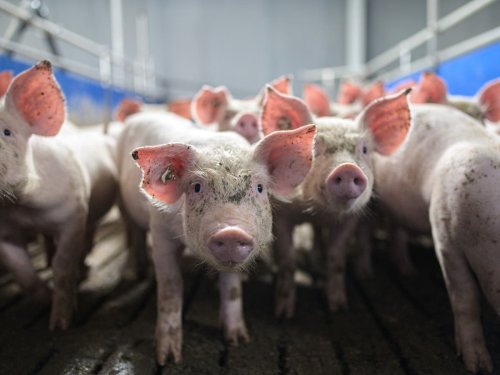 Meat-eating creates risk of new pandemic that 'would make Covid look like a dress rehearsal'