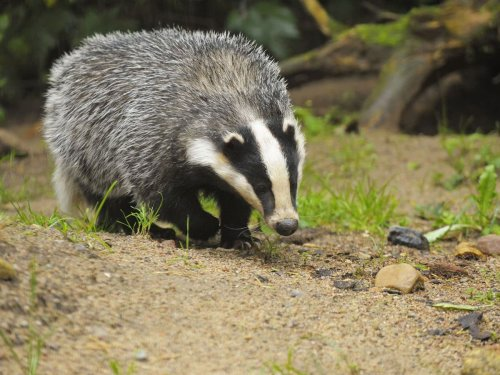 Badger culls will end after next year, ministers say, as figures show at least 38,642 killed last year
