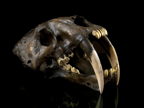 Newly identified saber-toothed cat species was larger than a tiger and hunted rhinos