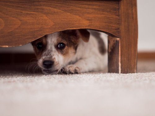 Number of dogs going missing doubles during fireworks season