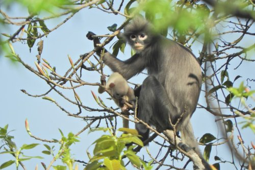New species of critically endangered monkey with spectacle-like eye patches discovered