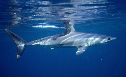 Shark and ray populations nearing 'point of no return' after 70% drop