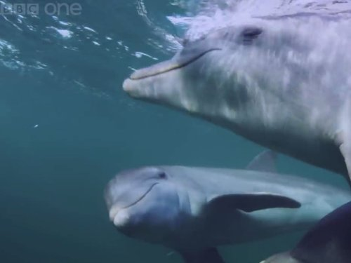 Dolphins 'deliberately get high' on puffer fish