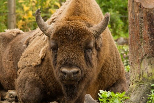 Bison rangers required to manage introduction of UK's first herd in 6,000 years