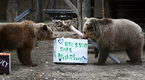 Bear cubs treated to farewell party before heading to 'forever home'