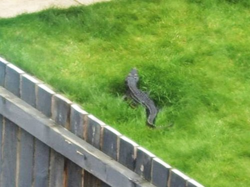 'Crocodile' spotted on loose in Yorkshire garden year after similar sighting
