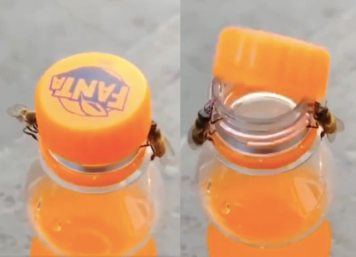 That viral video of bees opening a Fanta bottle is just one example of their surprising survival tactics