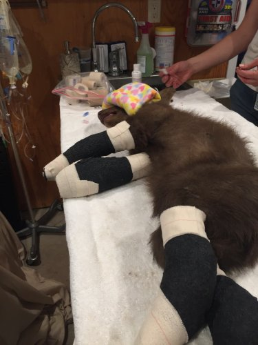 Black bear cub being treated for burns after rescue from wildfire escapes
