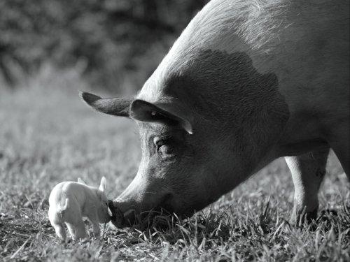Gunda's portrait of farm life becomes a stealth porcine soap opera – review