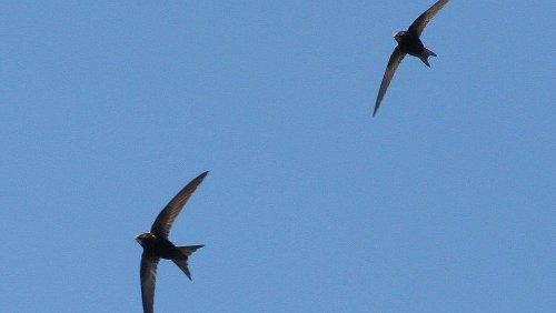 Swift survey to help halt decline of distinctive birds in Dublin