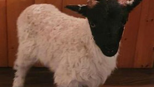Silence of the lamb! Young sheep kept in garda custody overnight after escaping from flock